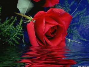 MC zdjecie róza 2